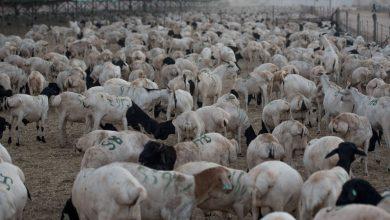 Sheep, Goat