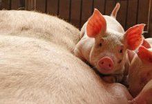 Swine Fever, Pork