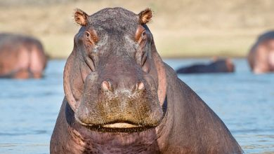Hippos Slaughter