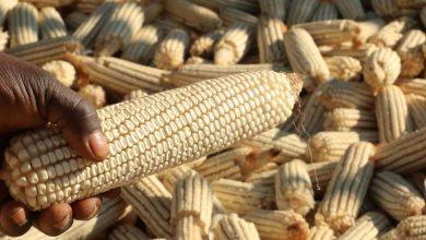 Maize, Grain
