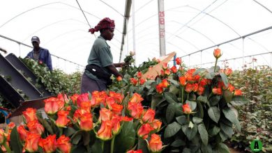 Photo of Nairobi trade tariff talks with China to boost flower exports