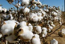 Cotton, Tanzania