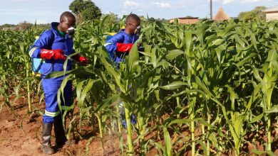 Photo of Malawi Government combats Fall Armyworm