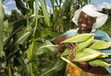 Maize Output