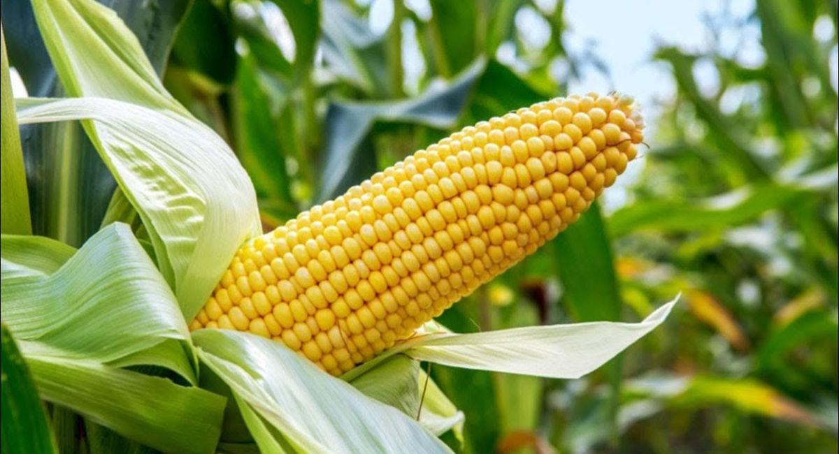 Maize Exports