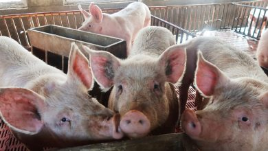 Photo of South Africa reports farm outbreak of African swine fever