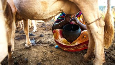 Photo of Milking it? Ethiopian farmers fight drought with insured cows