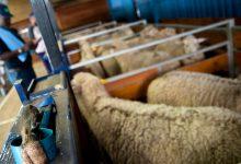 Livestock, Anthrax