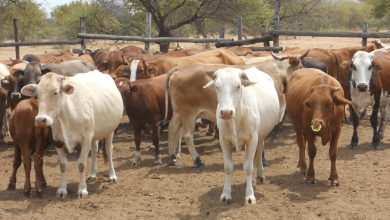 Photo of Livestock decline worries Botswana government