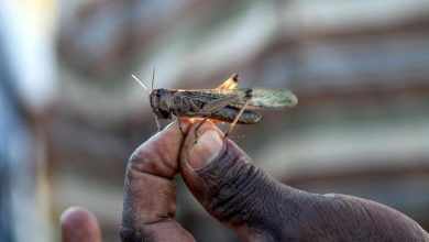 Photo of Sudan's Plant Protection Department affirms readiness to eradicate locusts