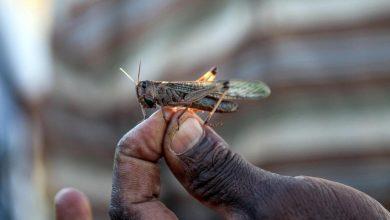 Locust Eradication