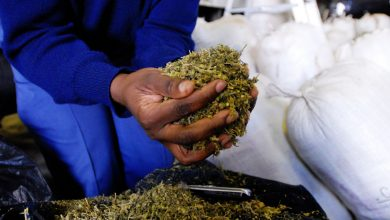 Photo of Zimbabwe government approves first cannabis production project