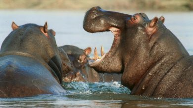 Photo of Zambia cancels hippo cull after activist pressure, hunters say