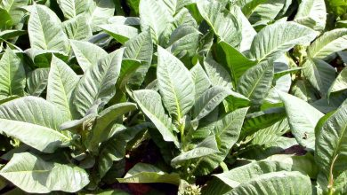Photo of Tanzania sees tobacco output falling 20% this year on weather