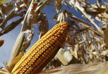 Corn Trade
