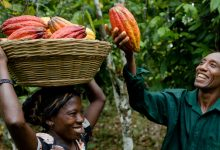 Photo of Big boost for cocoa sector… as World Bank invests U.S.$300 million in industry