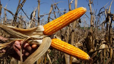 Photo of Kenya corn output seen 25% below five-year average on drought