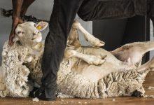 Wool Sector