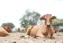 Photo of Namibia loses 60,000 livestock to drought