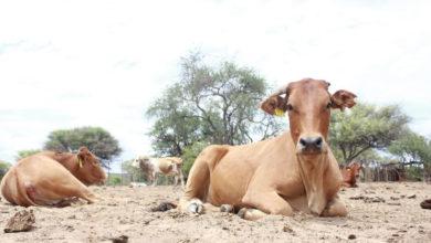 Livestock, Drought