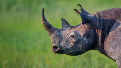 Photo of Botswana raises alarm over unprecedented surge in rhino poaching