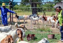 Goats, Pigs