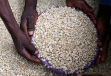 Photo of Malawi maize output to climb 8.8% as rains return