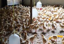 Ethiopia Poultry